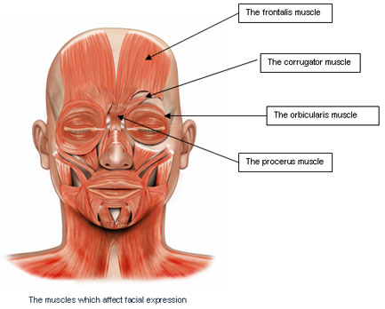 Face Muscles Illustration